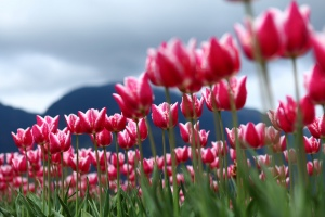 2012 Tulip Festival @ Agassiz, BC